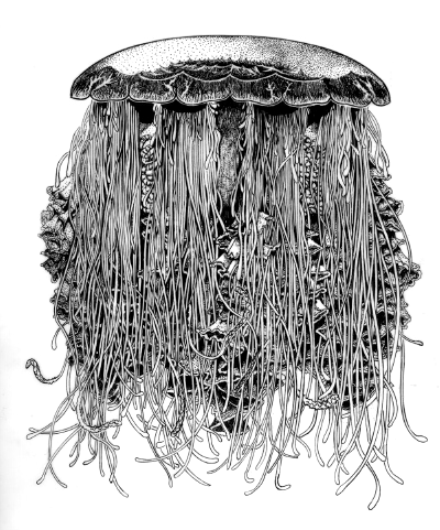 The Lion's Mane - Cyanea capillata, medusa - Beautiful jellyfish illustrations of freelance scientific illustrator and plein-air artist Patrice Stephens-Bourgeault