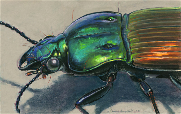 F60301: Mexican Ground Beetle, Green - Beautiful scientific illustrations of freelance scientific illustrator and plein-air fine arts artist Patrice Stephens-Bourgeault