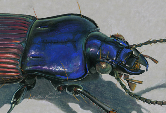 F70801: Mexican Ground Beetle, Green - Beautiful scientific illustrations of freelance scientific illustrator and plein-air fine arts artist Patrice Stephens-Bourgeault