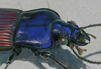 Mexican Ground Beetle, Blue - Beautiful scientific illustrations of freelance scientific illustrator and plein-air artist Patrice Stephens-Bourgeault