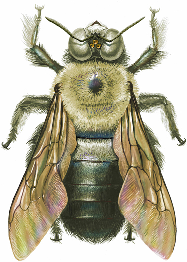 Carpenter Bee - Beautiful scientific illustrations of freelance scientific illustrator and plein-air fine arts artist Patrice Stephens-Bourgeault