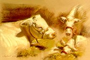 D20903: Charolais Cow with Calf - Beautiful wildlife paintings of freelance scientific illustrator and plein-air artist Patrice Stephens-Bourgeault