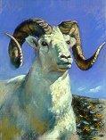 D6MM02: Dahl's Ram - ¾ View - Beautiful wildlife paintings of freelance scientific illustrator and plein-air artist Patrice Stephens-Bourgeault